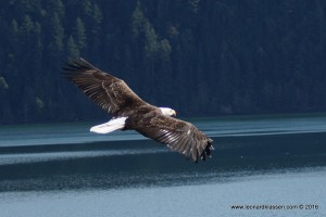 Bald eagle flying, gliding, wingspan, feathers