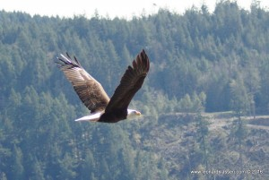Bald Eagle flying, wings, feathers