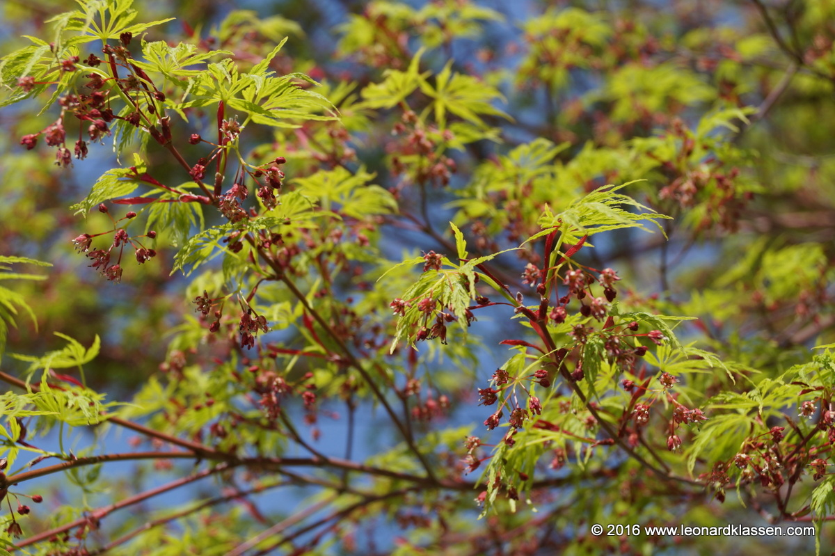 Maple tree budding leaves