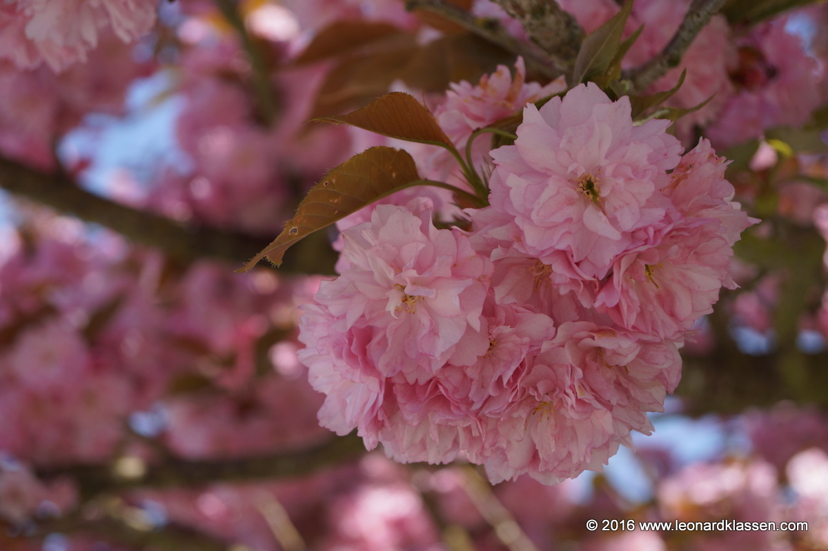 Flowering pink cherry blossom tree