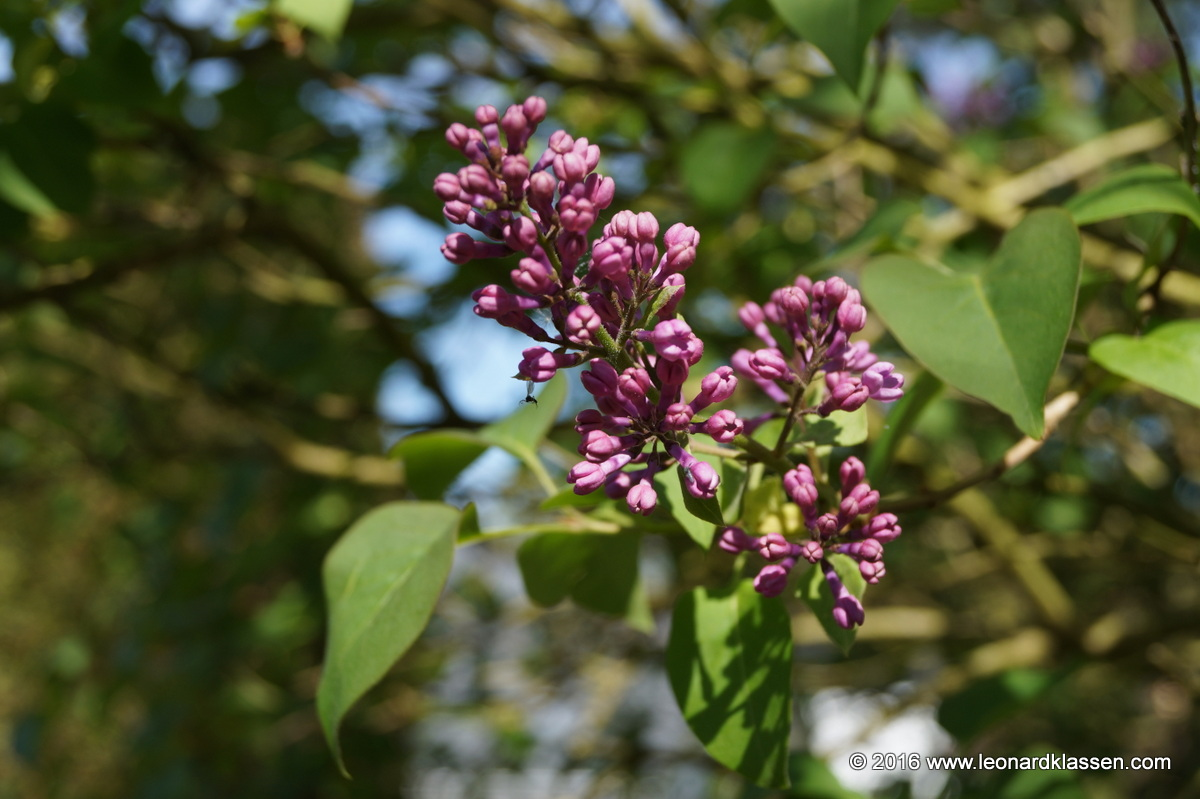 Lilac blossom in spring