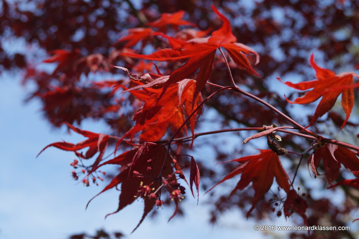 Red Japanese Maple spring