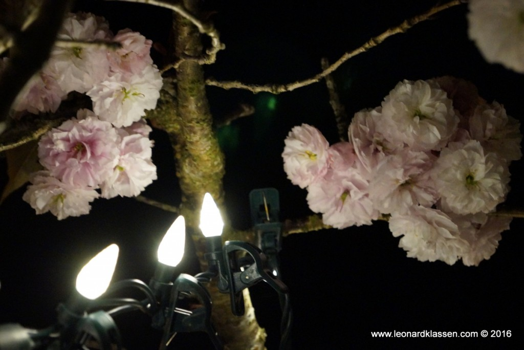 Pink cherry blossom, night, lights, close-up